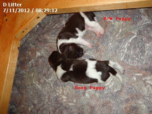 Determining Color of Small Munsterlander Pointer Puppies