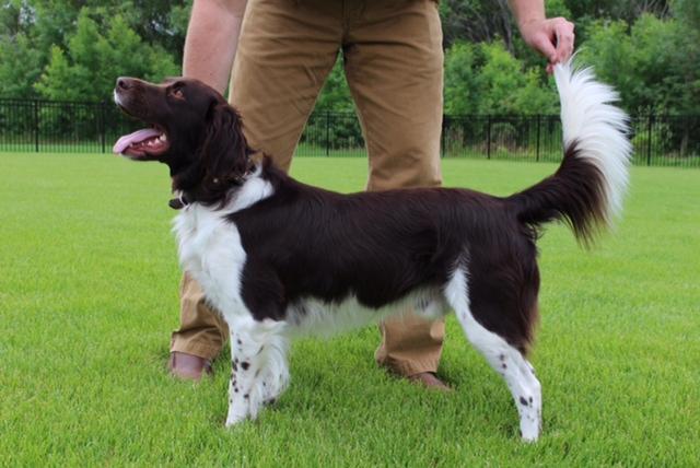 Gun Dog Breeders Puppies For Sale